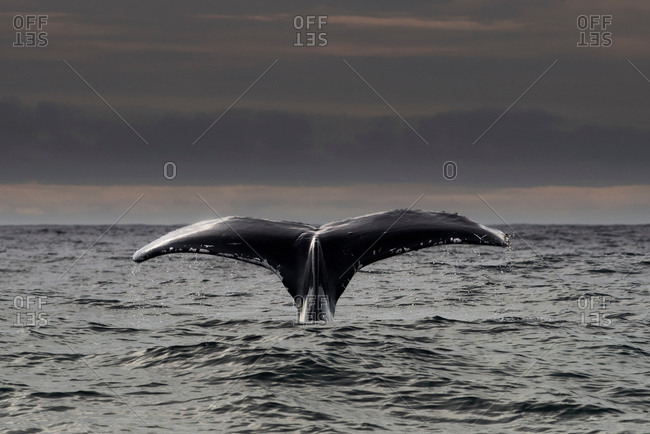 Humpback whale diving, Skellig Islands, Dingle, Kerry, Ireland