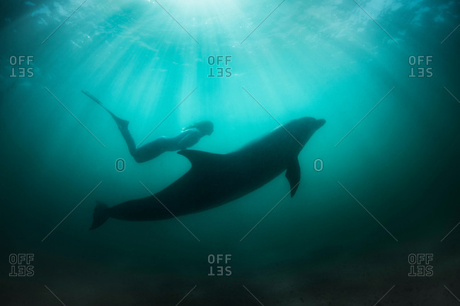 Freediver with wild solitary Bottlenose Dolphin