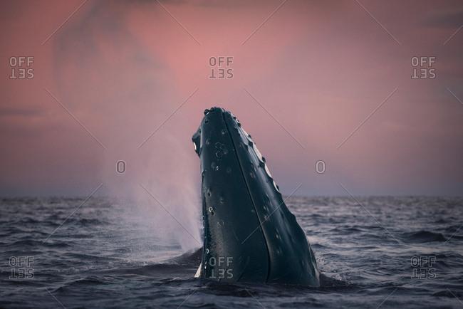 Humpback whale spy hopping, Skjervy, Troms, Norway