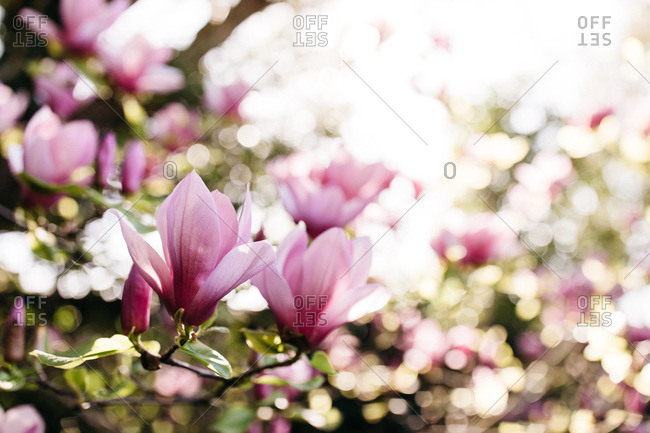 Magnolia tree with flowers in full bloom