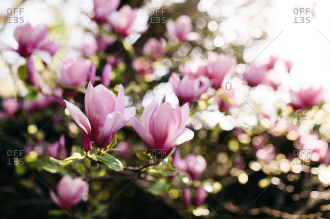 Magnolia tree branches and flowers in full bloom