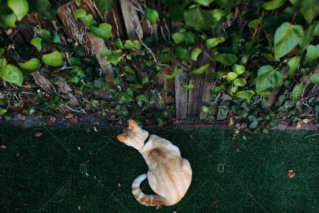 Light orange cat outside near a wall of ivy