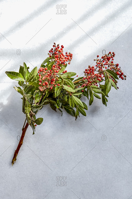 Pink peppercorn plant on a countertop