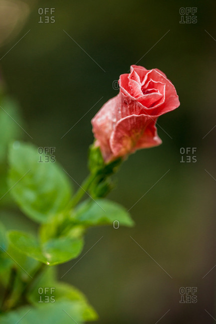 Bud of red hibiscus flower