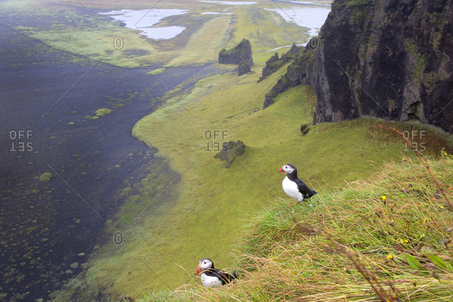Two puffins sitting on cliff in Iceland