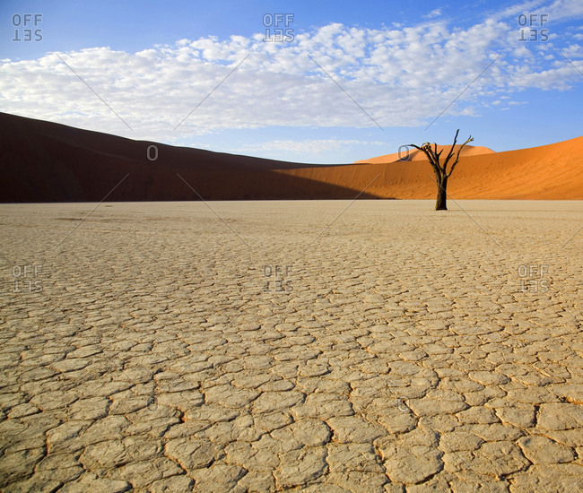 Single camel thorn tree in the Deadvlei clay pan in Namib-Naukluft National Park