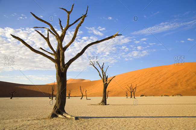 Group of camel thorn trees in the Deadvlei clay pan in Namib-Naukluft National Park