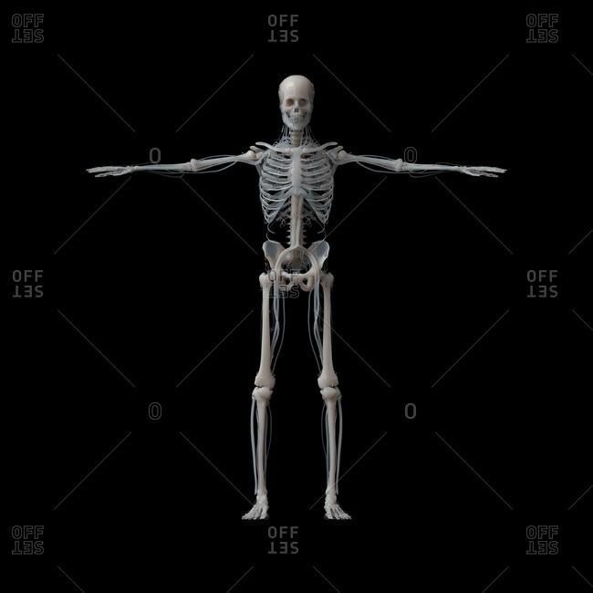 Human skeleton, illustration.