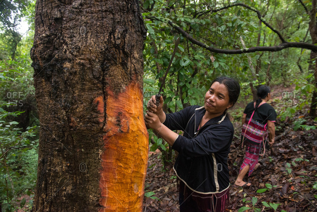 August 18, 2018: Asian Karen Women  Slicing the Bark for   Dye Fabric Use. Chiang Mai,  Thailand.