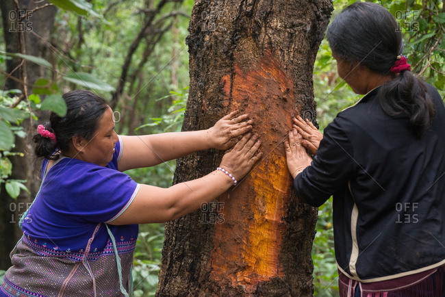 August 18, 2018: Asian Karen Women use Clay for Healing the Tree after being sliced  the Bark for Dye Fabric. Chiang Mai,  Thailand.