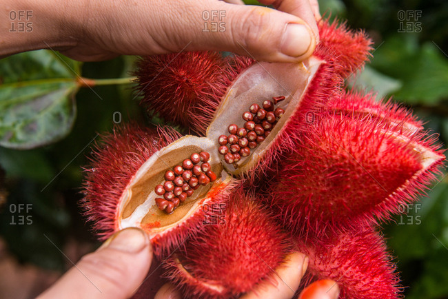 Close Up on Seeds of Annatto Tree, which can be use for Dye Fabric in Red Color.