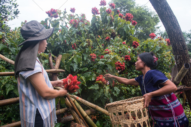 August 18, 2018: Asian Karen Women Collecting Seeds from Annatto Tree, which can be use for Dye Fabric in Red Color. Chiang Mai,  Thailand.