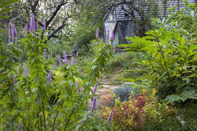 September 21, 2014: Spireae Golden flame,  Elscholtzia de Staunton in October. Geodesic dome ,private garden