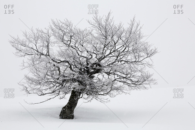 Alsace. Vosges. Greater Ballon d'Alsace. Haut Rhin. Ski Resort Le Markstein. Close up of a tree during a snow tempest.