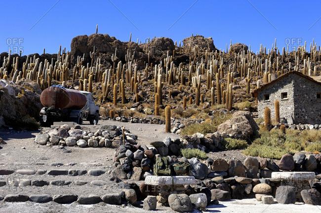 Bolivia, South America, Altiplano, Peruvian Apple Cactus on the Isla Incahuasi in the middle of the Salar Uyuni salt desert