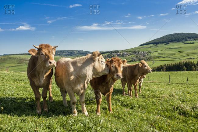 """France, Auvergne-Rhones-Alpes, Haute-Loire, """"Fin-Gras du Mezenc"""" oxes near Chaudeyrolles"""