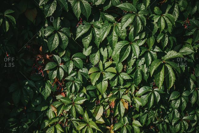 Green Victoria creeper plant leafs