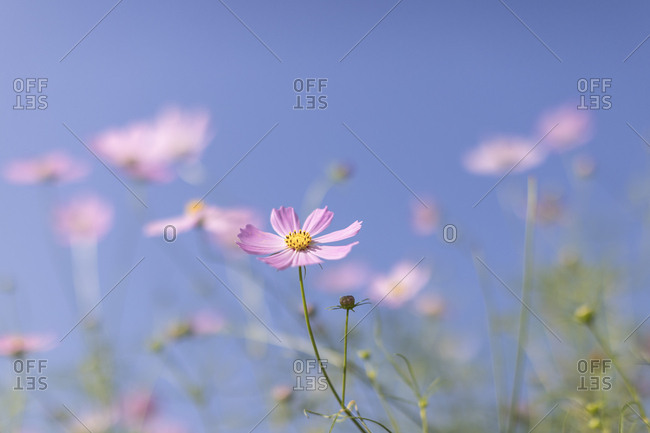 Blue Sky and Pink Cosmos Parrot