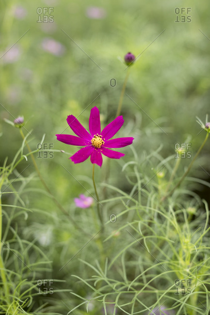 Green leaf and red cosmos flower