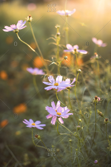 Yellow cosmos flowers and sunlight