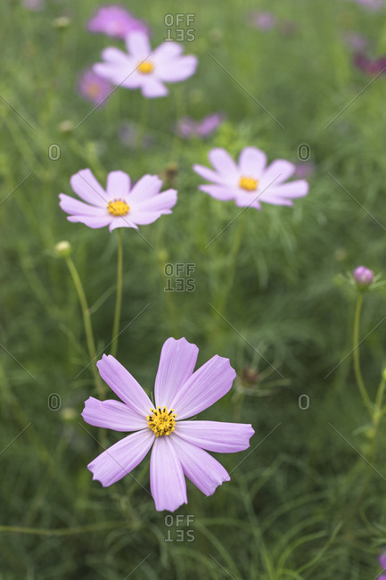 Pink Cosmos Flower and Bokeh