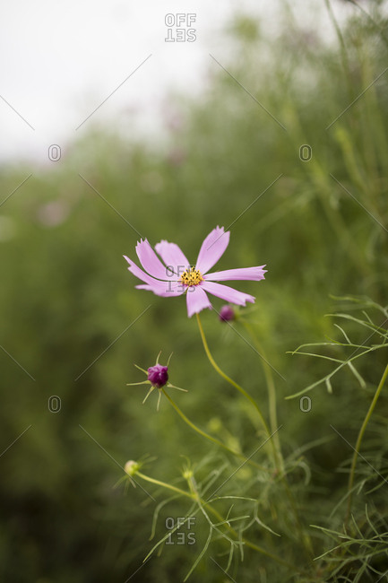 Pink Cosmos Flower Curled Leaves