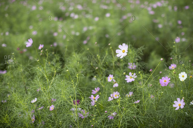 White cosmos flowers and green grass