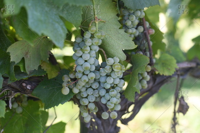Clusters of green grapes on vine