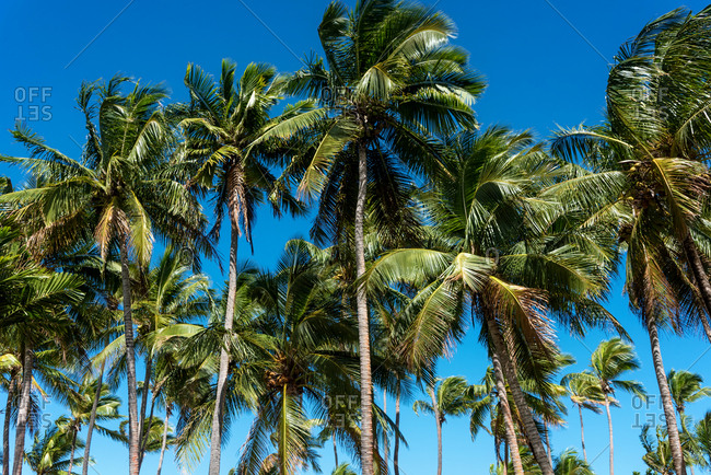 Palm trees lean under a blue sky in Fiji, South Pacific