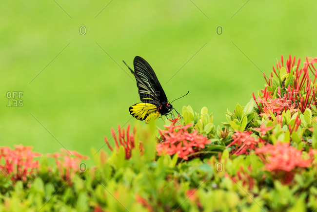 Black and yellow butterfly on a flower, Sukhothai, Thailand