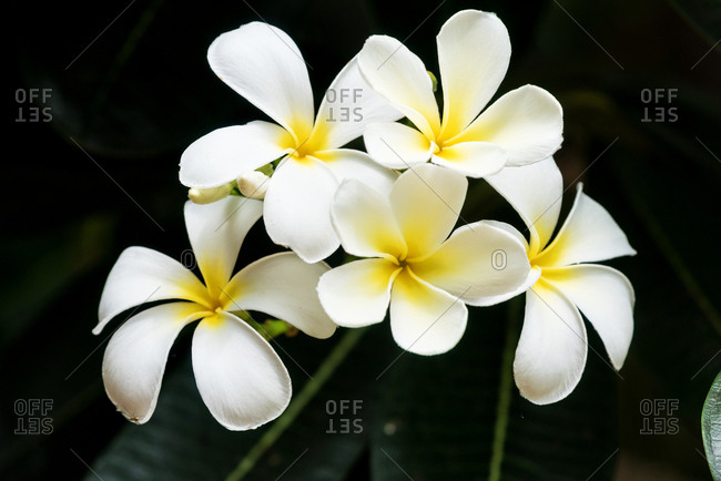 White and yellow plumeria flowers in a tree, Sukhothai, Thailand