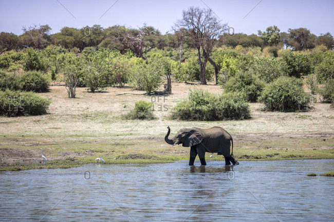 Botswana- Chobe elephant in water