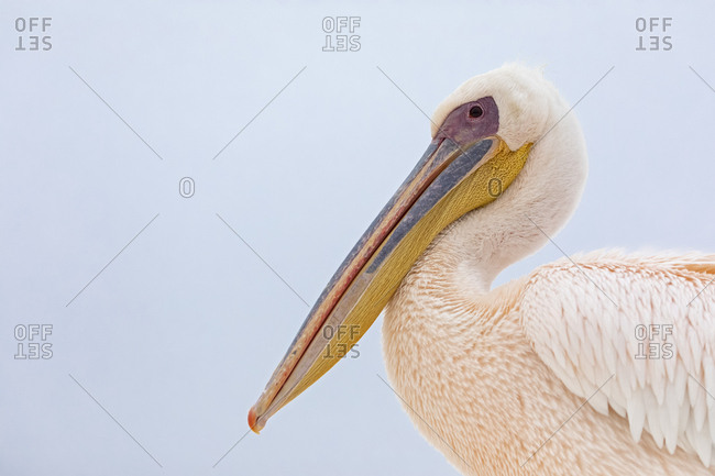 Namibia- Walvis Bay- portrait of white pelican