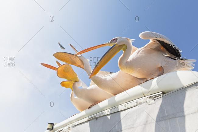Namibia- Walvis Bay- four white pelicans