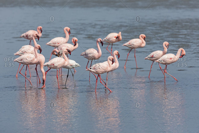 Namibia- Walvis Bay- flock of American flamingos and one Lesser flamingo