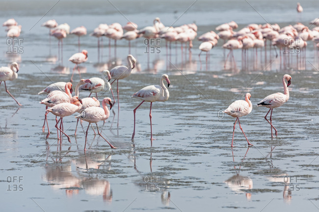 Namibia- Walvis Bay- flock of American flamingos and Lesser flamingos