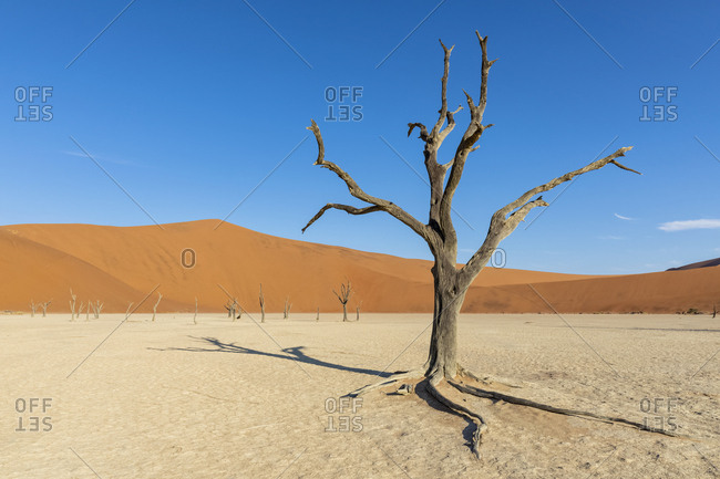 Africa- Namibia- Namib-Naukluft National Park- Deadvlei- dead acacia tree in clay pan
