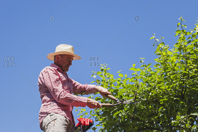 Gardener pruning twigs of apple tree with hedge trimmer