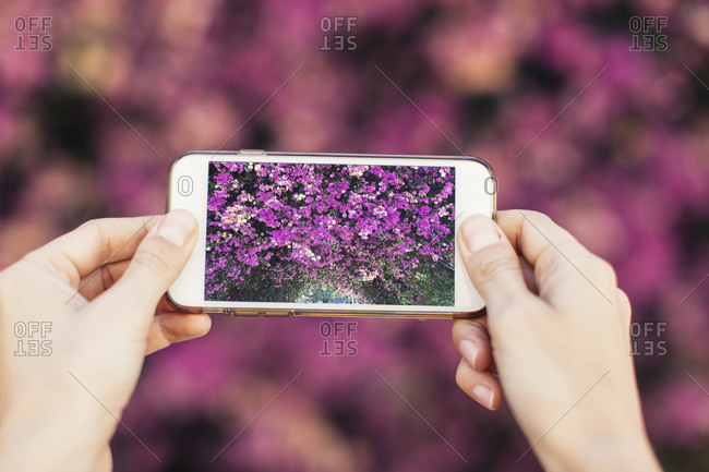 Woman's hands taking cell phone picture of pink blossoms