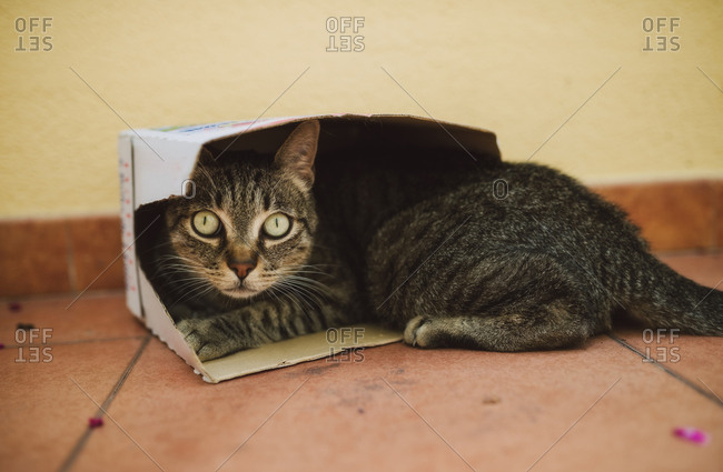 Portrait of tabby cat lying in a small cardboard box