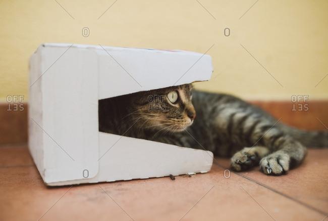 Tabby cat in a cardboard box