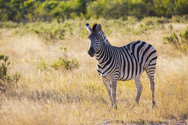 Beautiful zebra standing on savanna grass while grazing on sunny day in Botswana