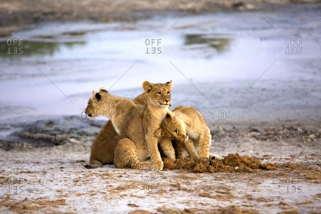 Cute lion cubs near pond