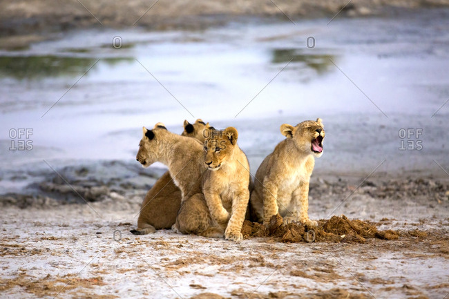 Group of lovely lion cubs meowing while sitting near water in Botswana savanna