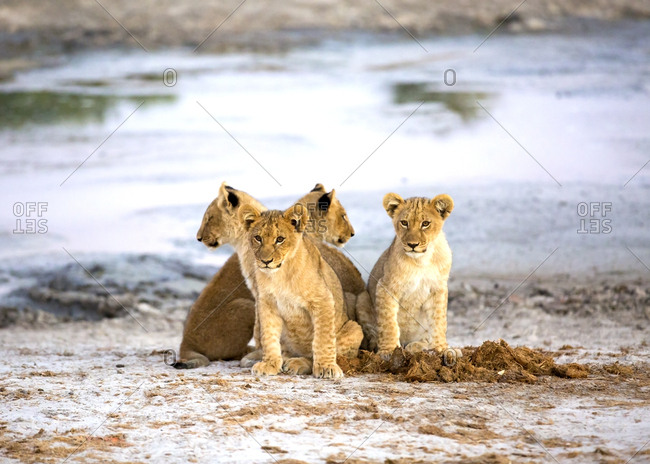 Cute lion cubs near pond