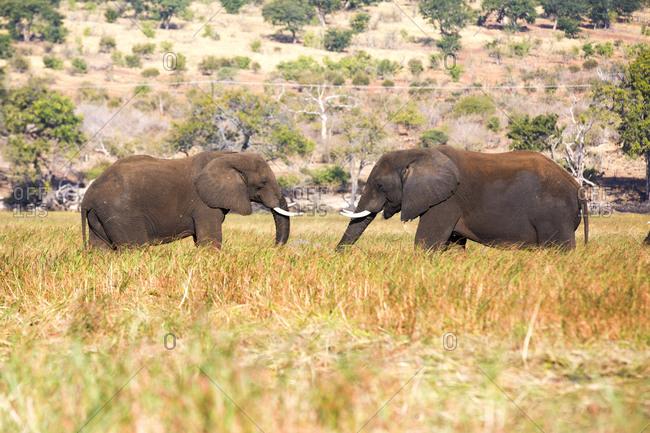 Elephants grazing in savanna