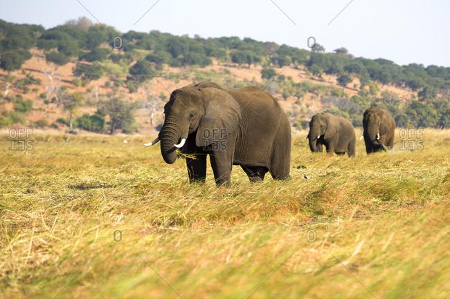 Herd of huge elephants eating dry grass on sunny day in Botswana savanna