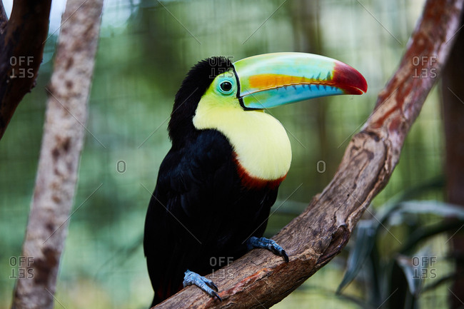 Amazing toucan with bright beak sitting on tree branch of blurred background of Costa Rica jungle