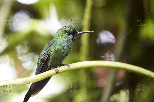 Close-up shot of amazing green hummingbird sitting on sprig on blurred background of Costa Rica jungle