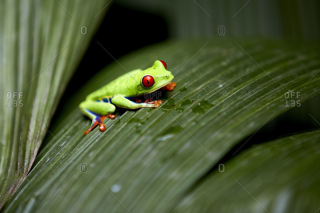Close-up shot of wonderful red-eyed tree frog sitting on green leaf in rainforest in Costa Rica